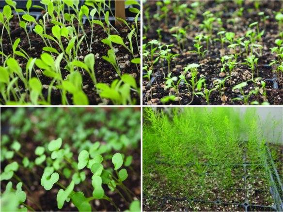 light-stressed seedlings
