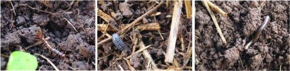 dirtbugs