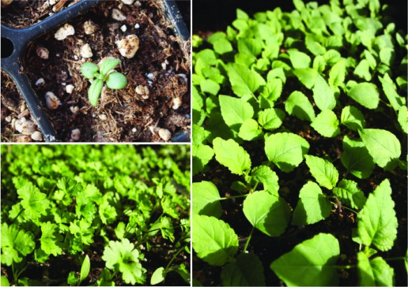 rosemary, celery, salvia