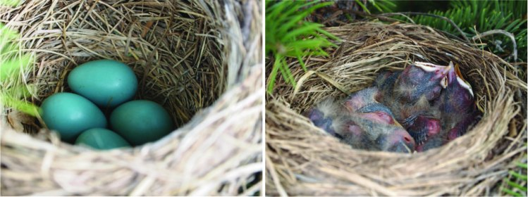 robins nest_May9_May21