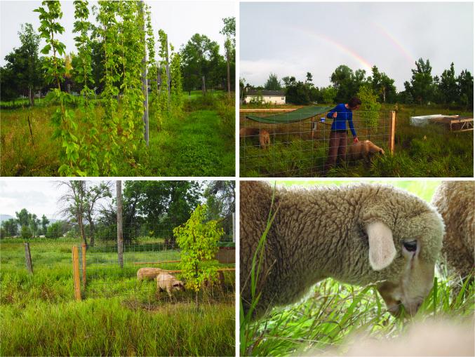 lambs hops rainbow