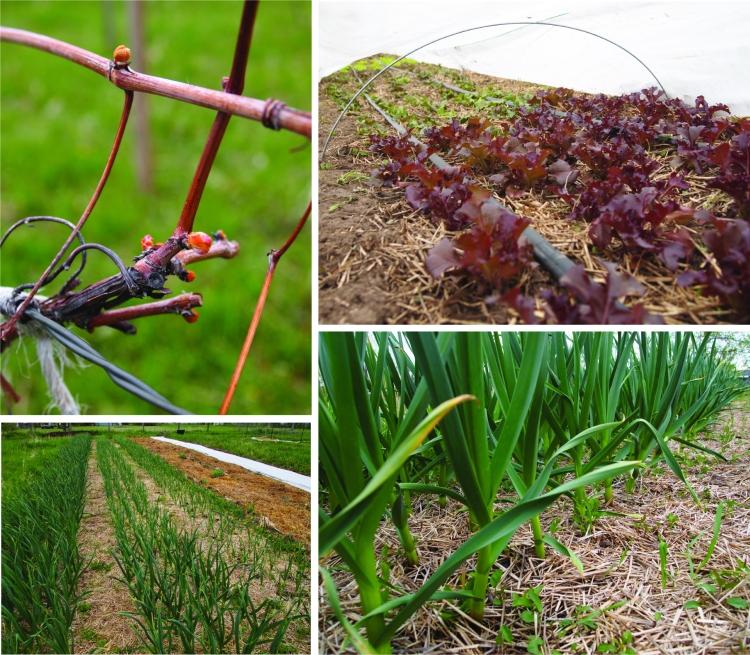 grapes lettuce garlic
