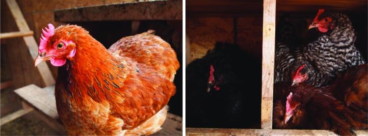 hen and broody birds