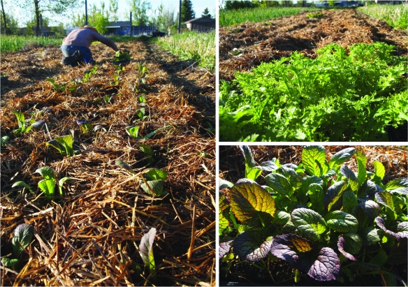 planting out mustards