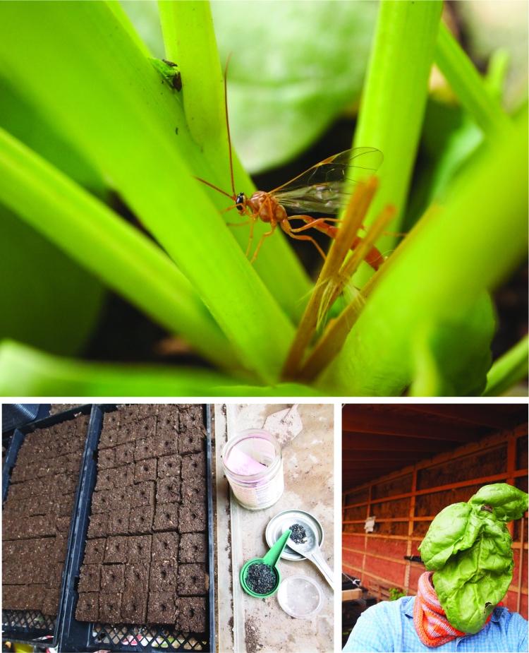 wasp seeding spinach