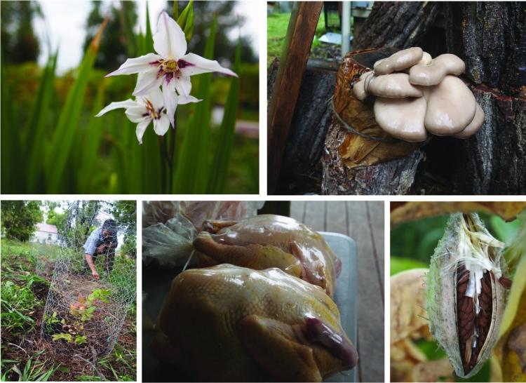 Acidanthera, fragrant gladiolus, blueberries milkweed chickens october