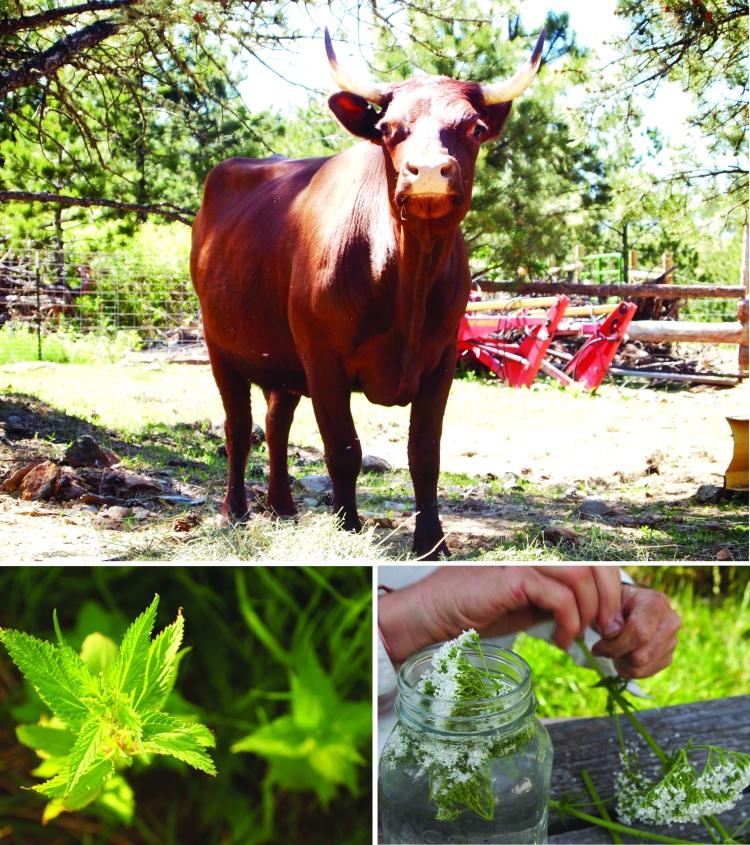 ericas cow