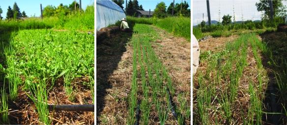 weeding scallions compilation
