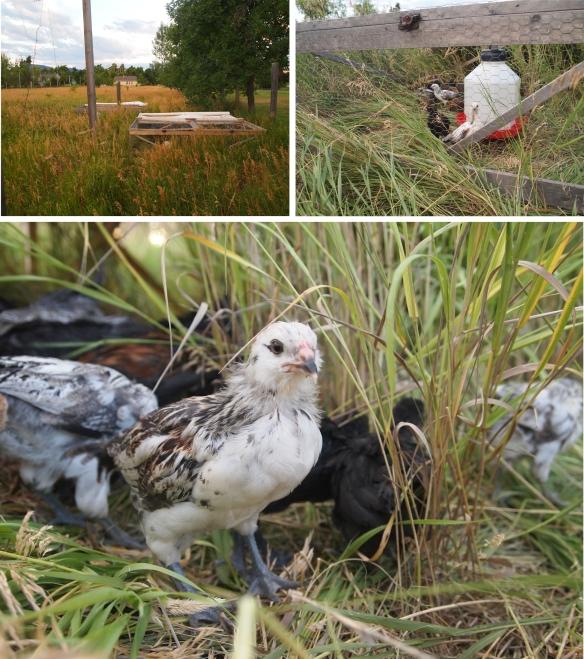 chicks on pasture