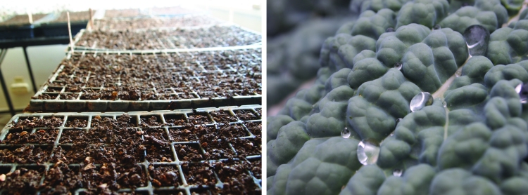 seding lettuce inside and rain on kale