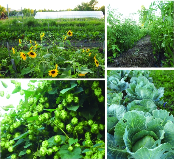 field hops cabbage tomatoe rows