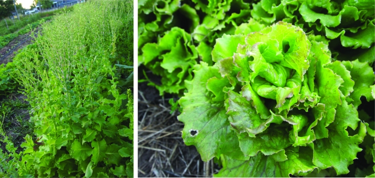 lettuce bolting and slogun, not bolting.