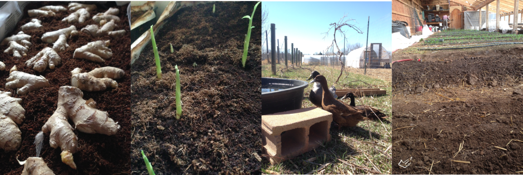 ginger spread out to sprout, ginger spouting(!), our new ladyducks, two new greenhouse beds